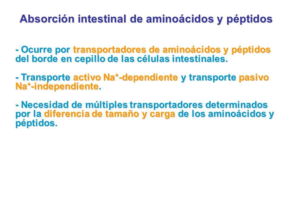 Absorción intestinal de aminoácidos y péptidos