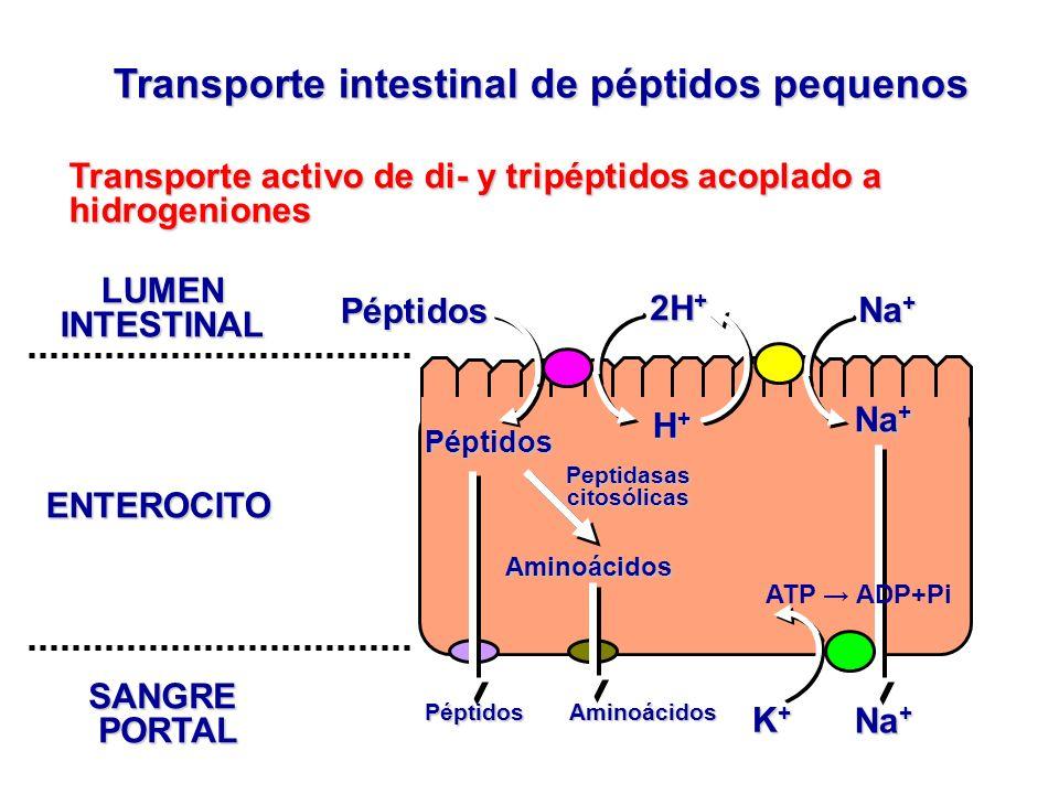 Transporte intestinal de péptidos pequenos