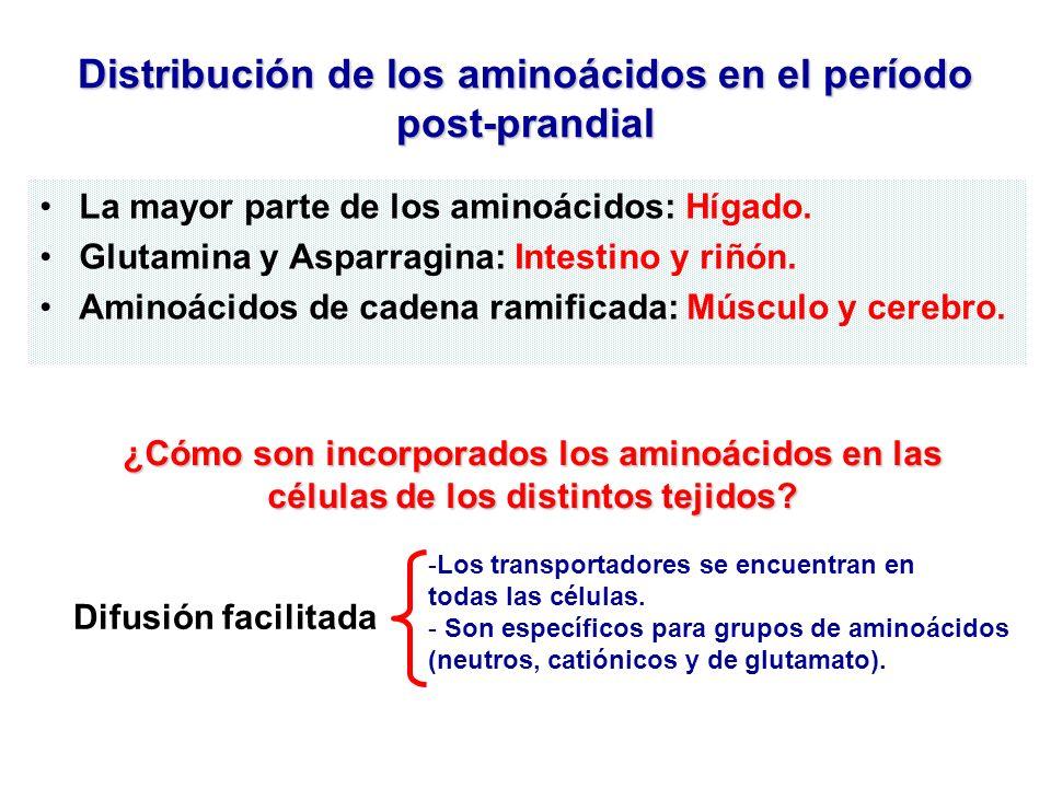 Distribución de los aminoácidos en el período post-prandial