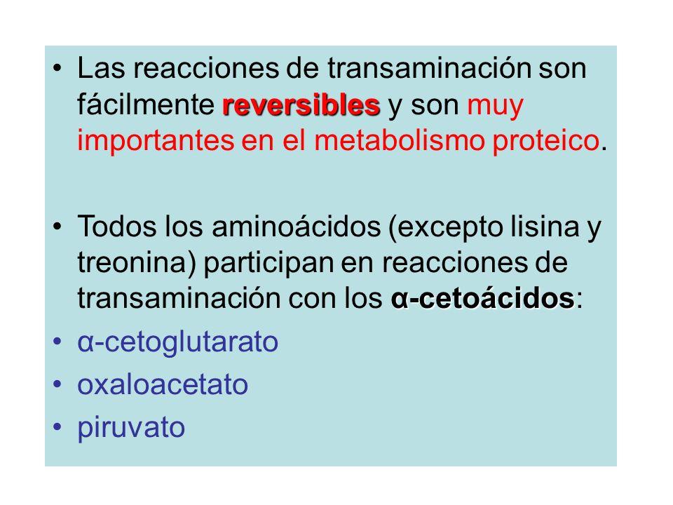 Las reacciones de transaminación son fácilmente reversibles y son muy importantes en el metabolismo proteico.