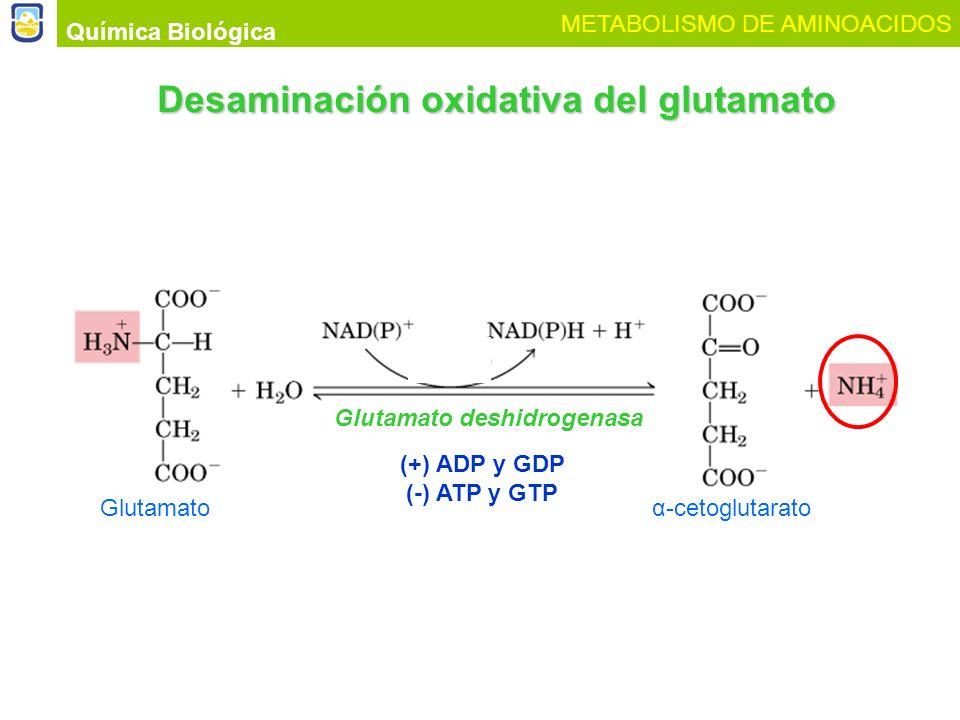 Desaminación oxidativa del glutamato