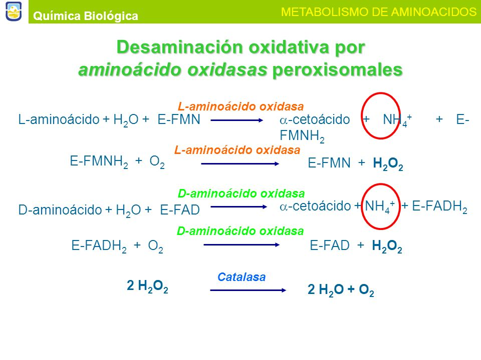 Desaminación oxidativa por aminoácido oxidasas peroxisomales