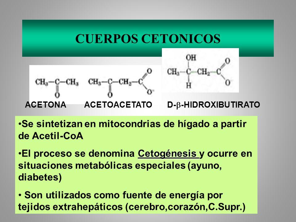 CUERPOS CETONICOS ACETONA ACETOACETATO D-b-HIDROXIBUTIRATO. Se sintetizan en mitocondrias de hígado a partir de Acetil-CoA.