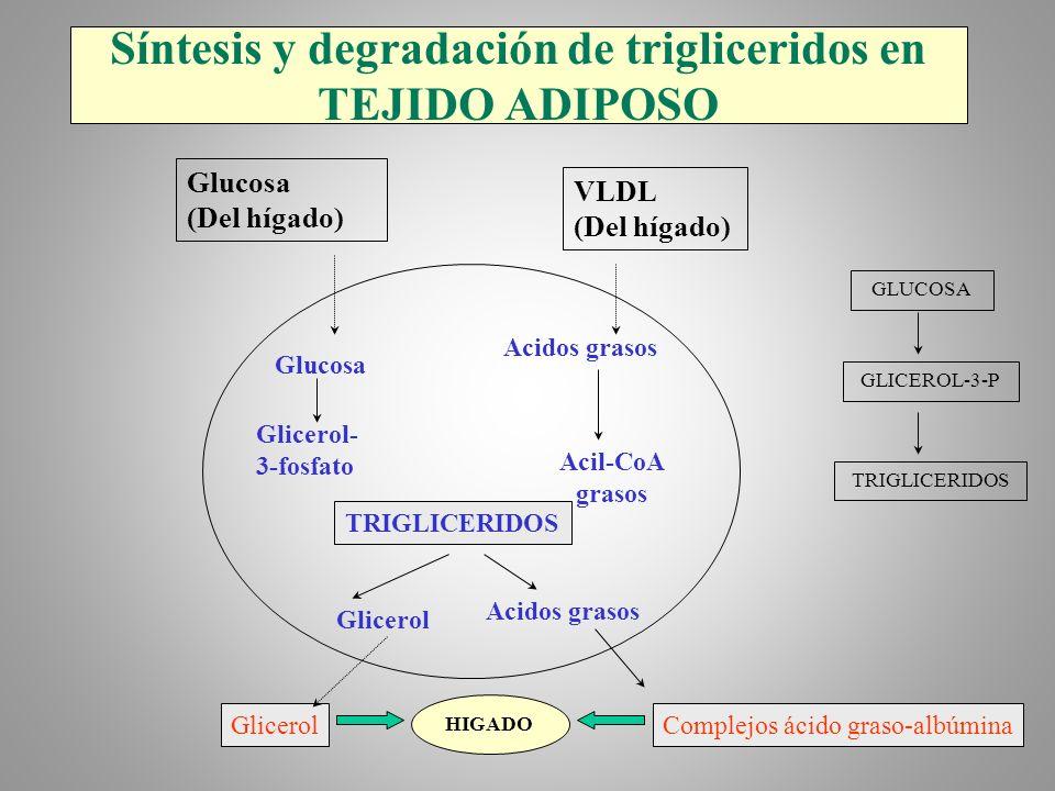 Síntesis y degradación de trigliceridos en TEJIDO ADIPOSO