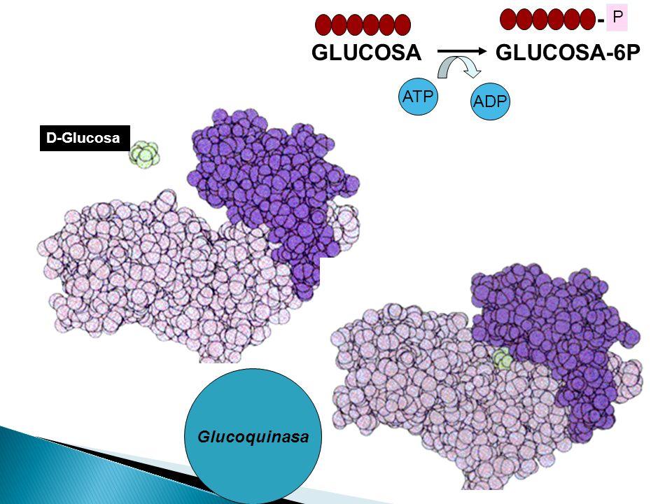 - P GLUCOSA GLUCOSA-6P ATP ADP D-Glucosa Glucoquinasa