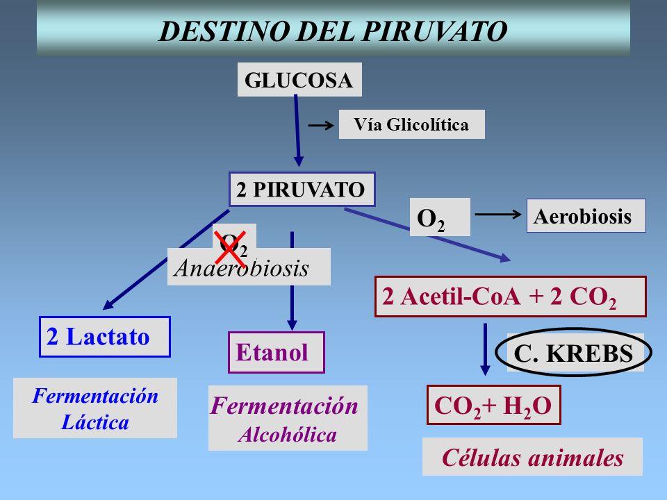 DESTINO DEL PIRUVATO O2 Anaerobiosis O2 2 Acetil-CoA + 2 CO2 2 Lactato