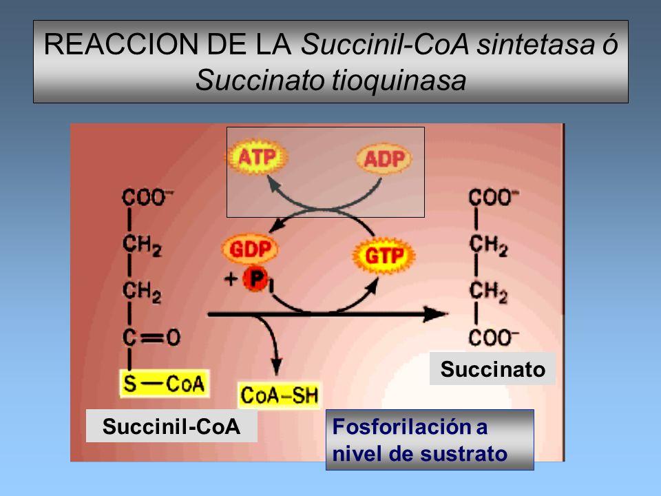 REACCION DE LA Succinil-CoA sintetasa ó Succinato tioquinasa