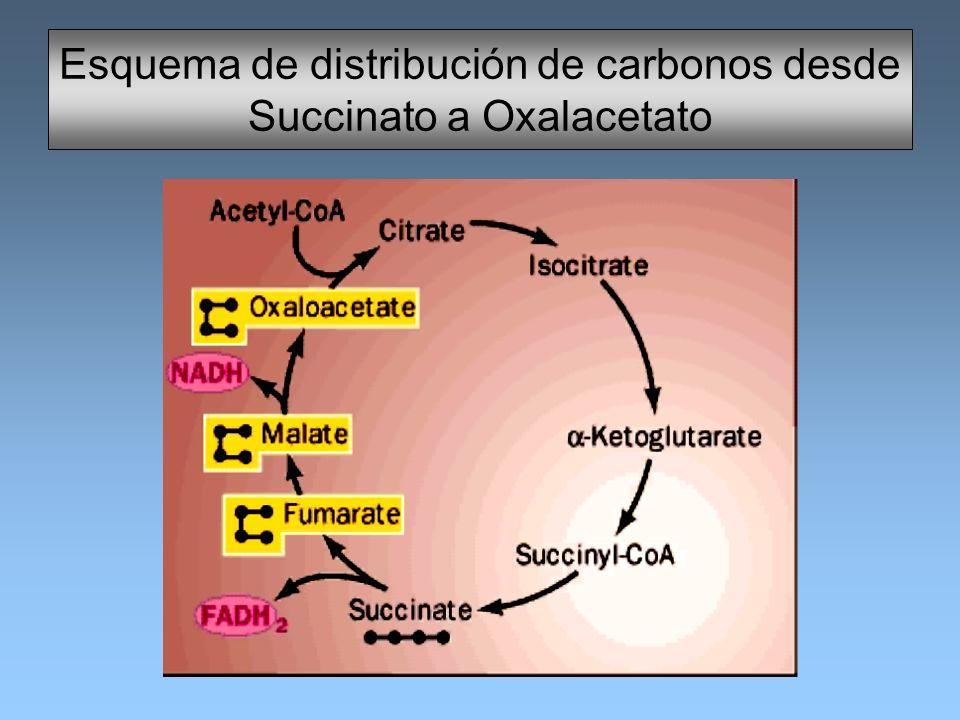 Esquema de distribución de carbonos desde Succinato a Oxalacetato