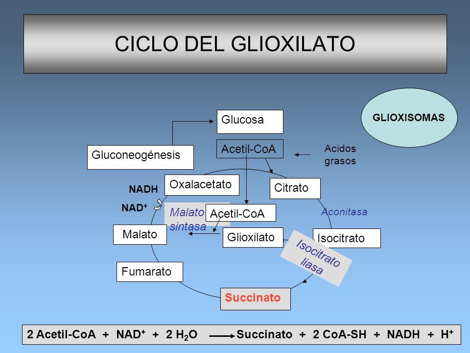 CICLO DEL GLIOXILATO Glucosa Acetil-CoA Gluconeogénesis Oxalacetato
