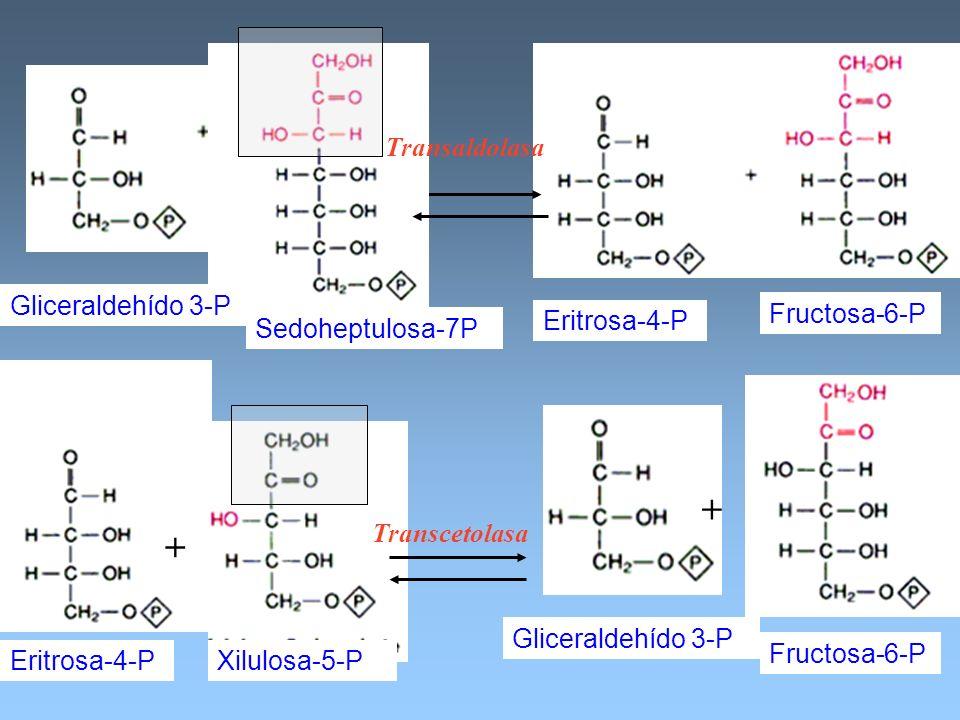 + + Transaldolasa Gliceraldehído 3-P Fructosa-6-P Eritrosa-4-P