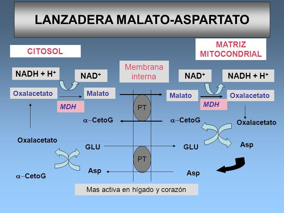 LANZADERA MALATO-ASPARTATO