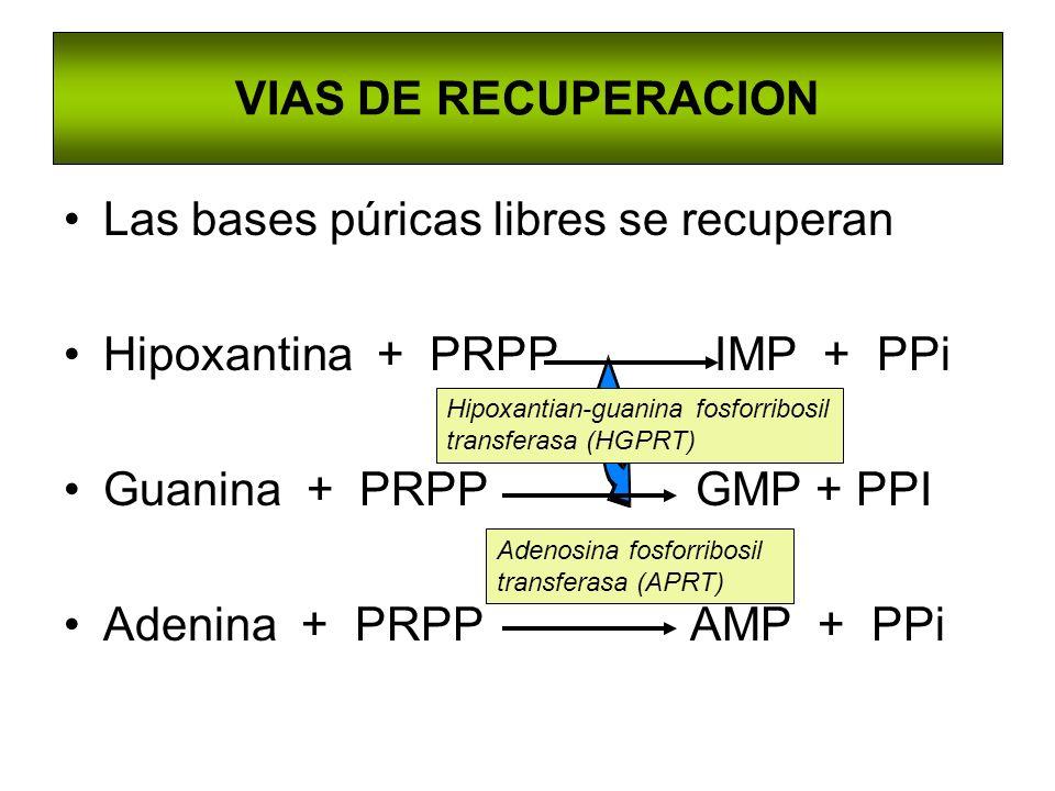 Las bases púricas libres se recuperan Hipoxantina + PRPP IMP + PPi