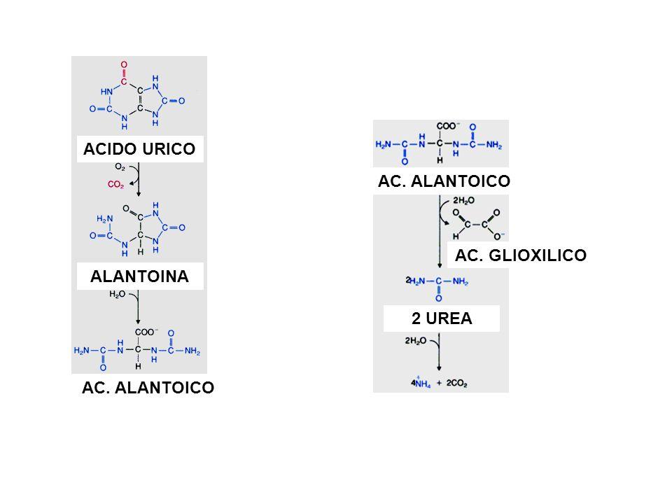 ACIDO URICO AC. ALANTOICO AC. GLIOXILICO ALANTOINA 2 UREA AC. ALANTOICO