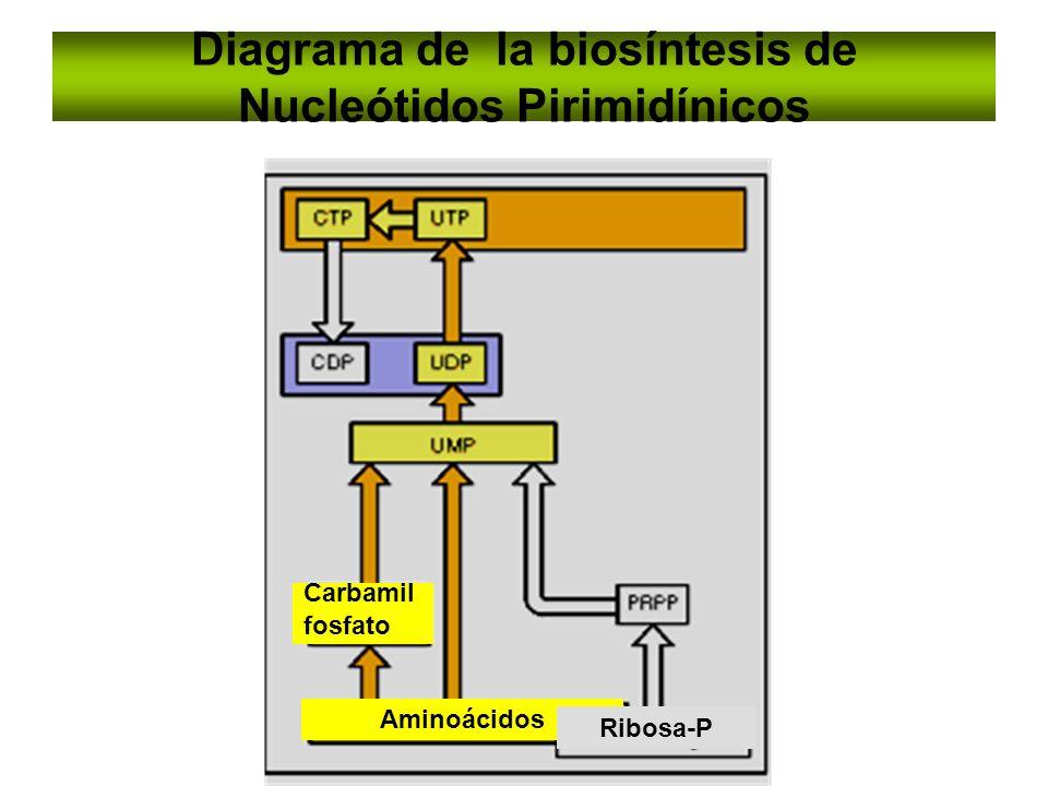 Diagrama de la biosíntesis de Nucleótidos Pirimidínicos
