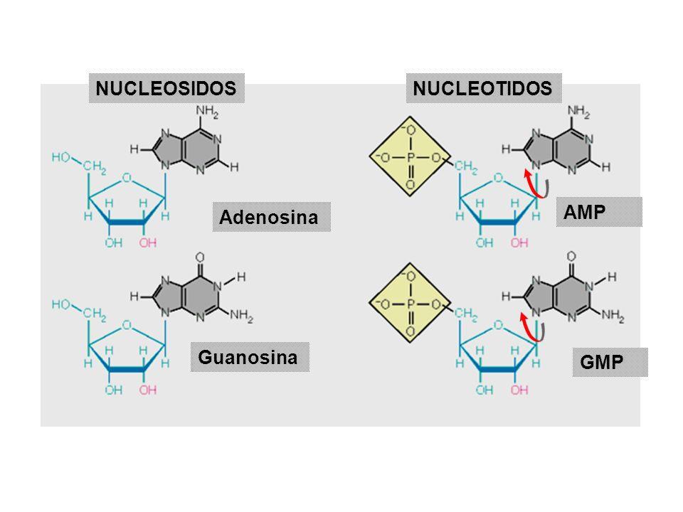 NUCLEOSIDOS NUCLEOTIDOS AMP Adenosina Guanosina GMP