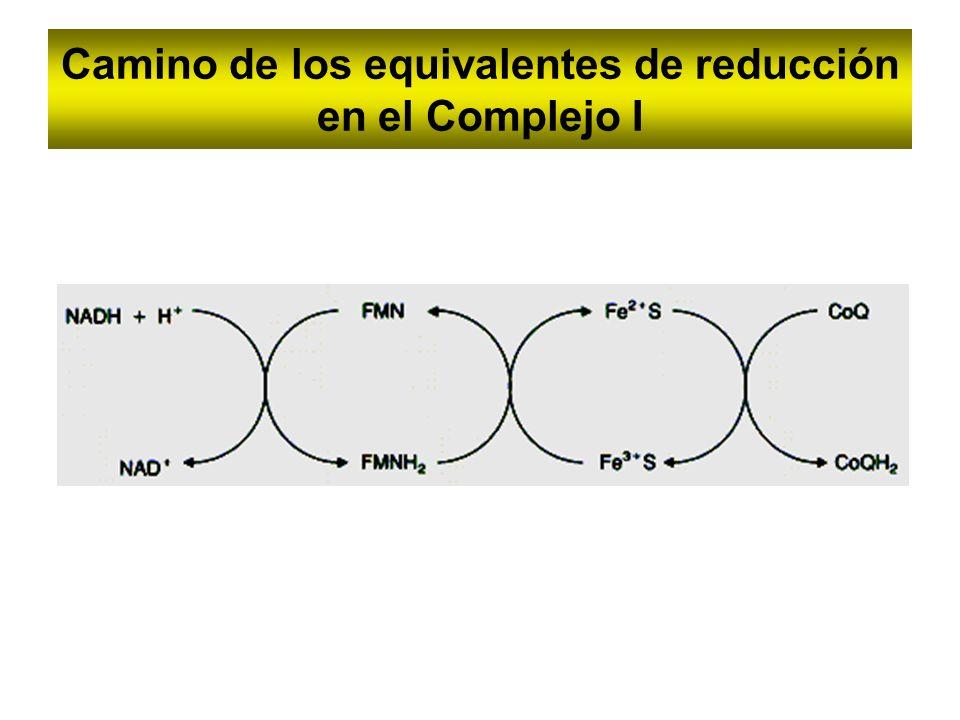 Camino de los equivalentes de reducción en el Complejo I