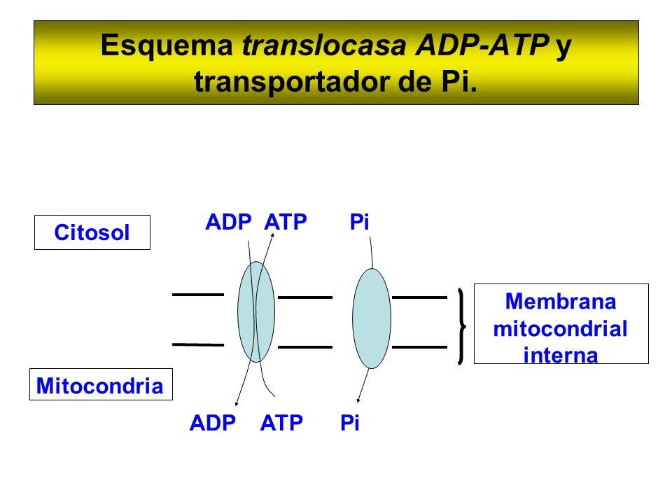 Esquema translocasa ADP-ATP y transportador de Pi.