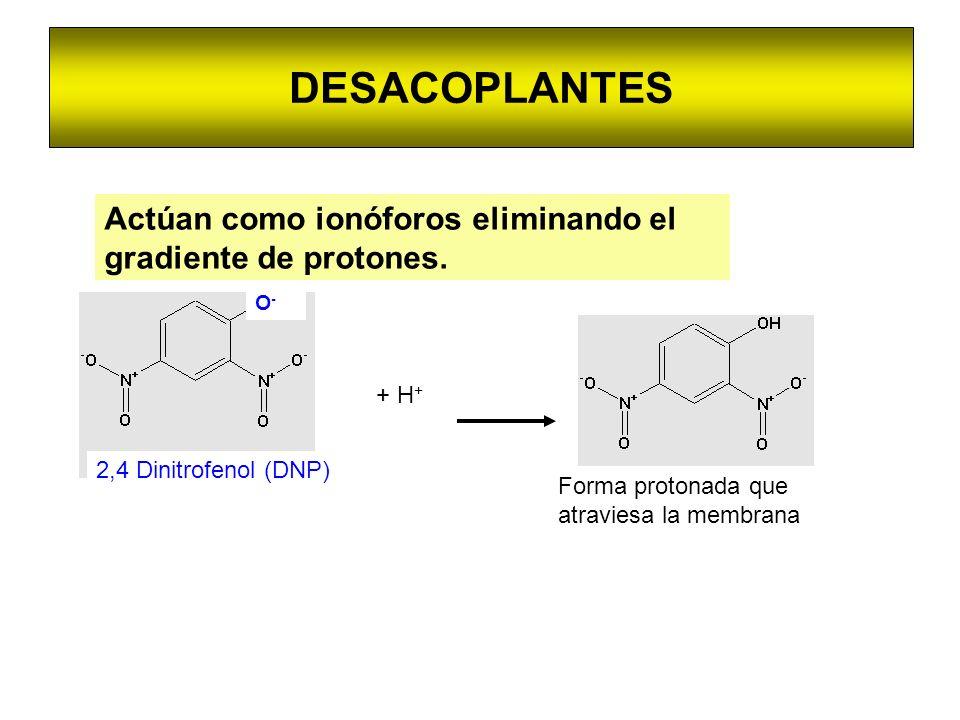 DESACOPLANTESActúan como ionóforos eliminando el gradiente de protones. O- 2,4 Dinitrofenol (DNP) + H+