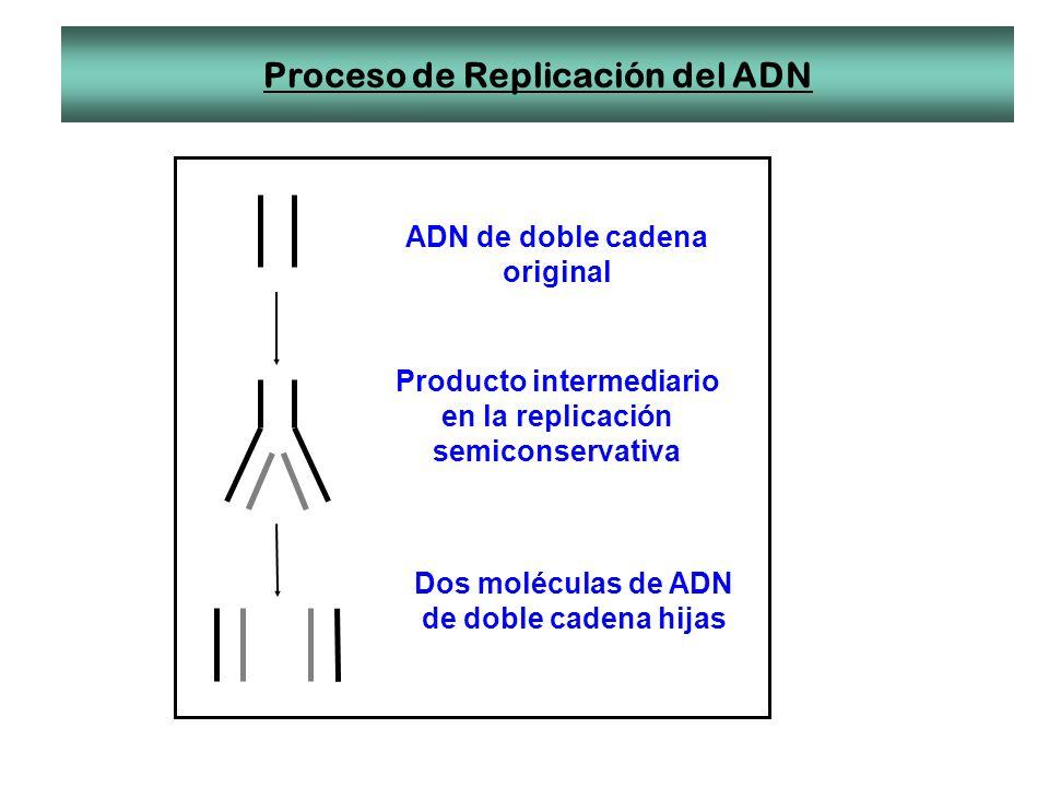 Proceso de Replicación del ADN