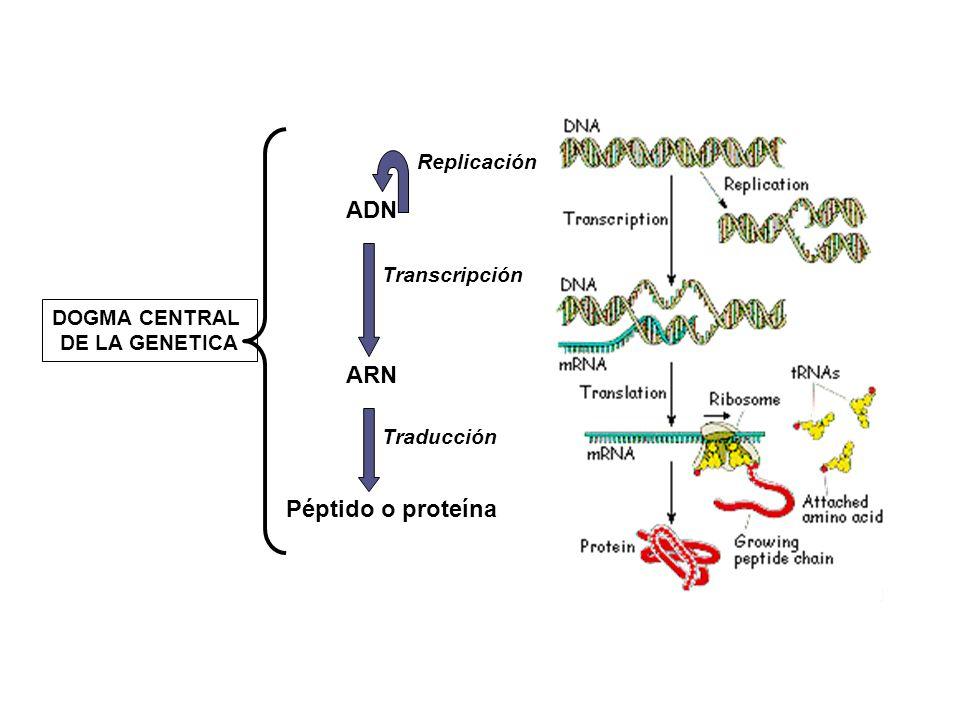 ADN ARN Péptido o proteína Replicación Transcripción DOGMA CENTRAL