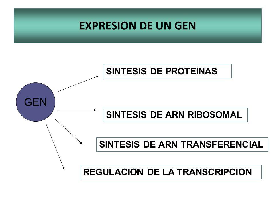 EXPRESION DE UN GEN GEN SINTESIS DE PROTEINAS