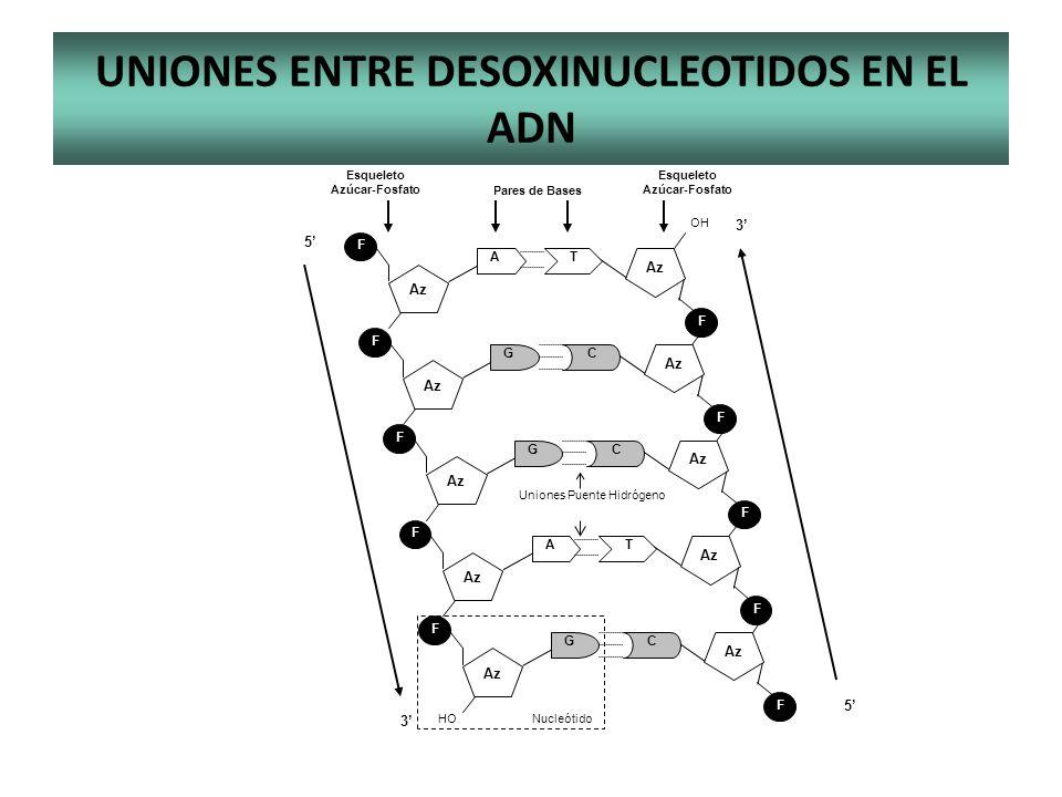 UNIONES ENTRE DESOXINUCLEOTIDOS EN EL ADN