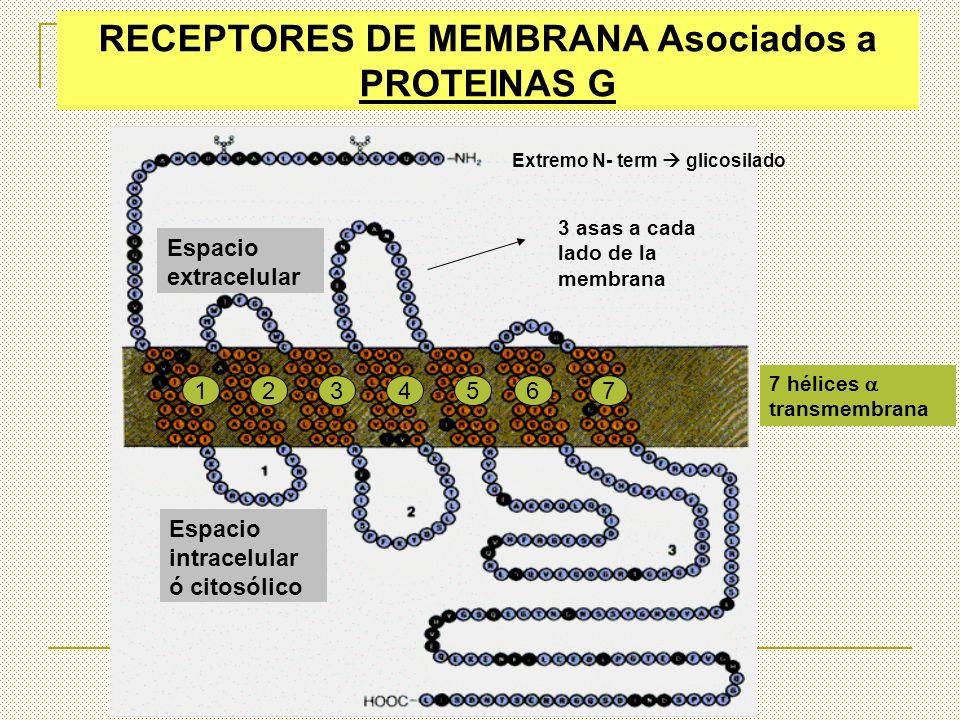 RECEPTORES DE MEMBRANA Asociados a PROTEINAS G