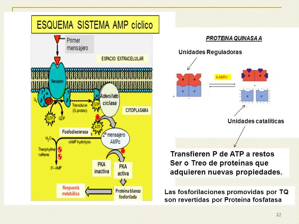 Unidades Reguladoras Unidades catalíticas. Transfieren P de ATP a restos Ser o Treo de proteínas que adquieren nuevas propiedades.