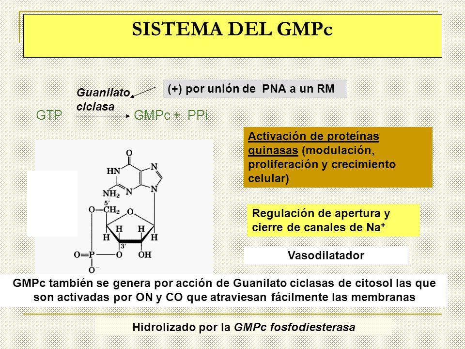 Hidrolizado por la GMPc fosfodiesterasa
