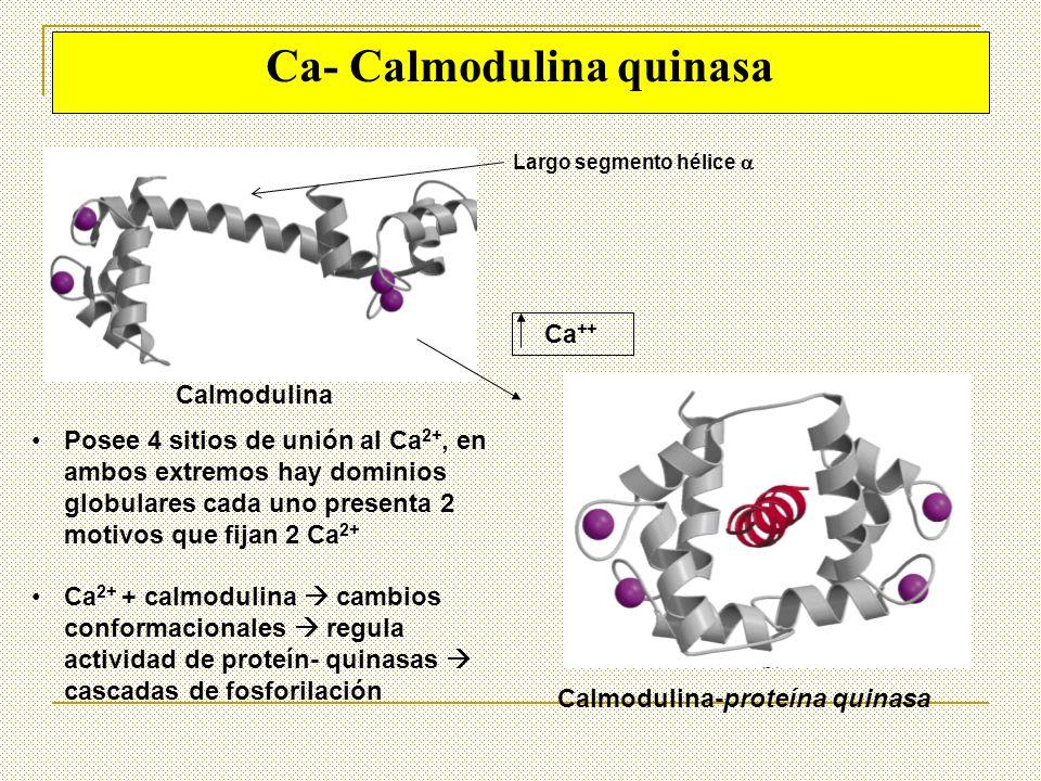 Ca- Calmodulina quinasa