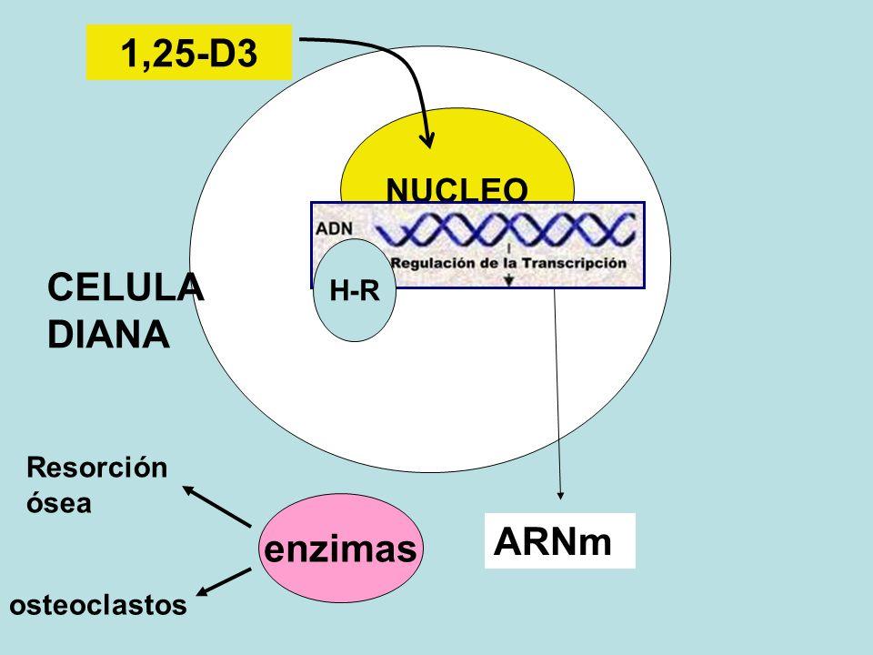1,25-D3 CELULA DIANA enzimas ARNm NUCLEO H-R Resorción ósea