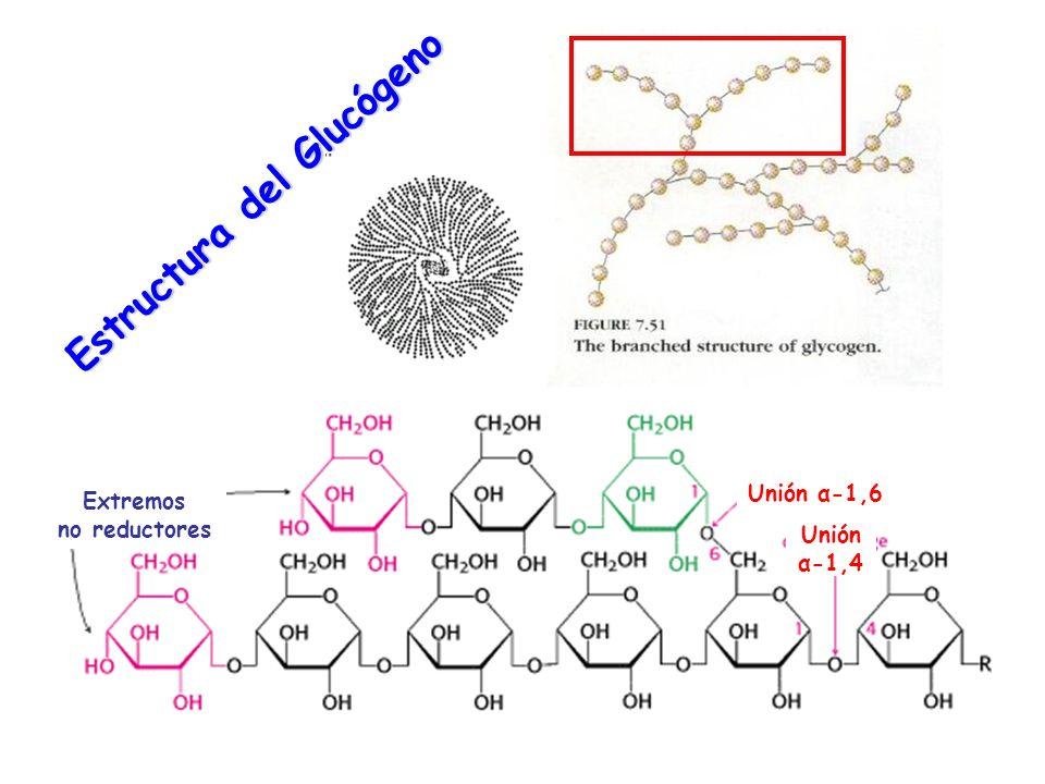 Estructura del Glucógeno