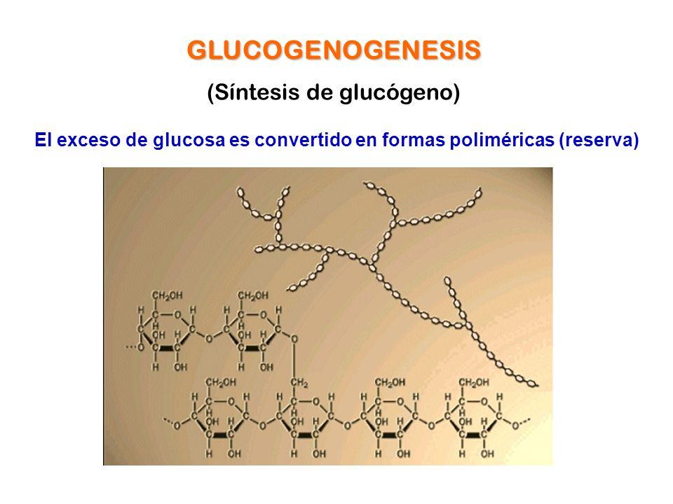 El exceso de glucosa es convertido en formas poliméricas (reserva)