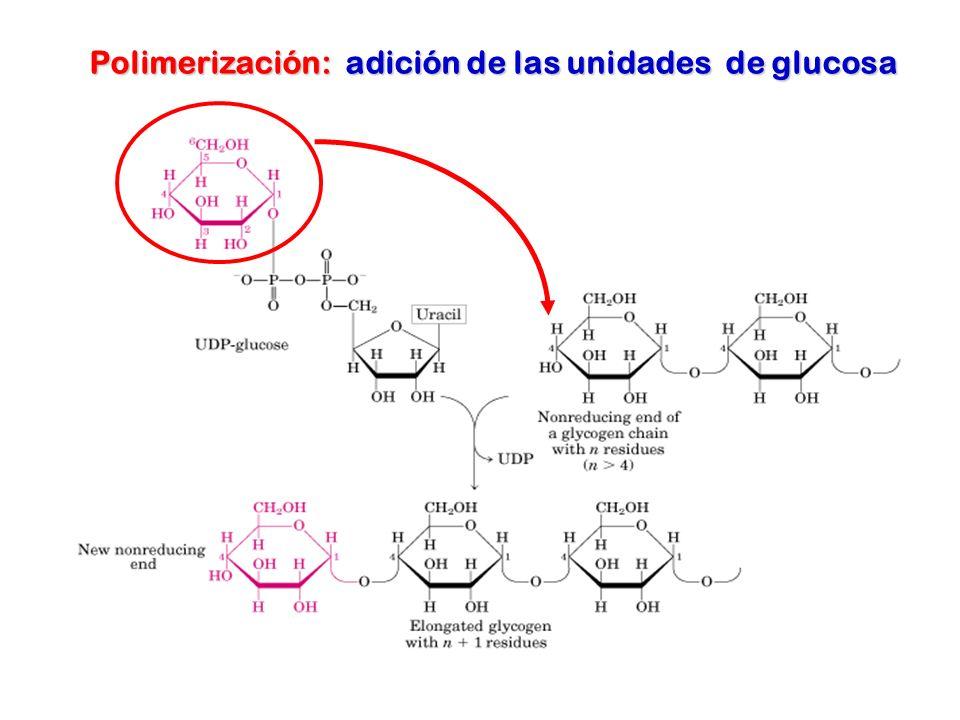 Polimerización: adición de las unidades de glucosa
