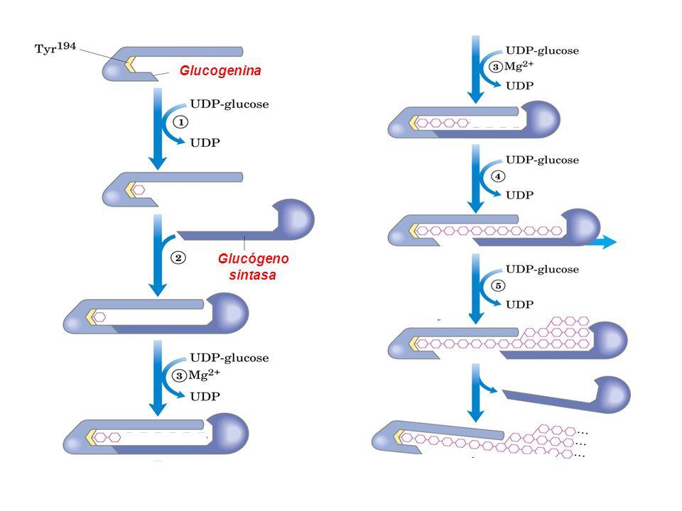 Glucógeno sintasa y Enzima ramificante Partícula de Glucógeno