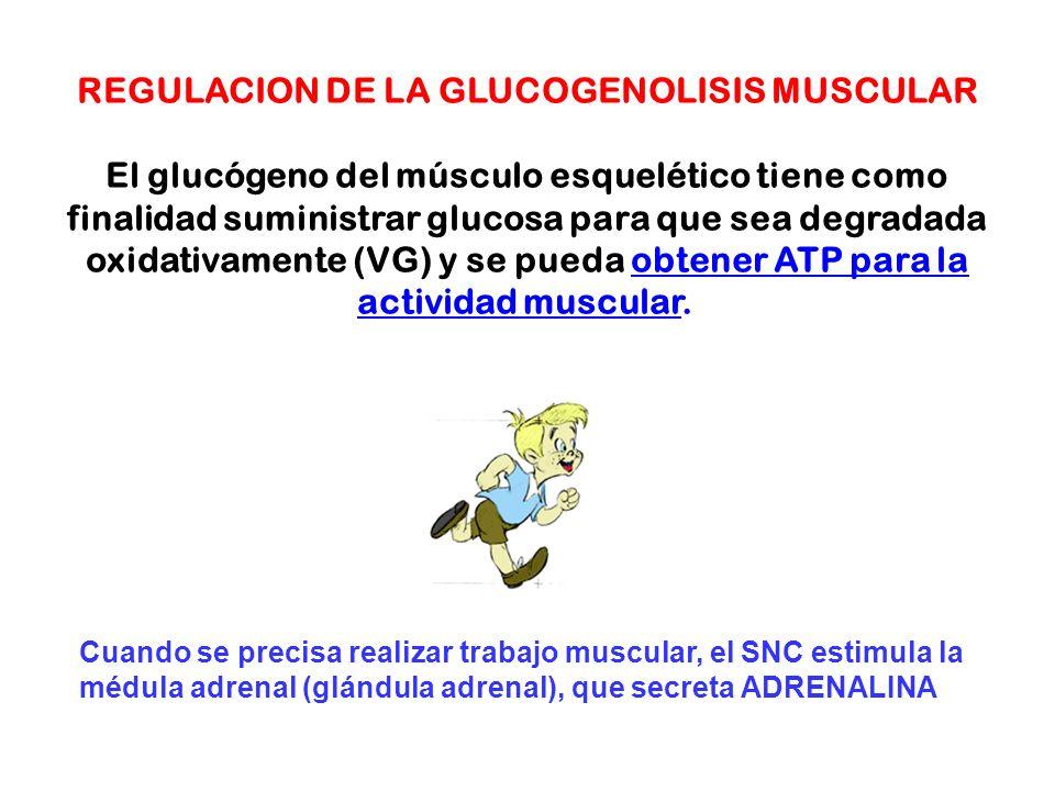 REGULACION DE LA GLUCOGENOLISIS MUSCULAR