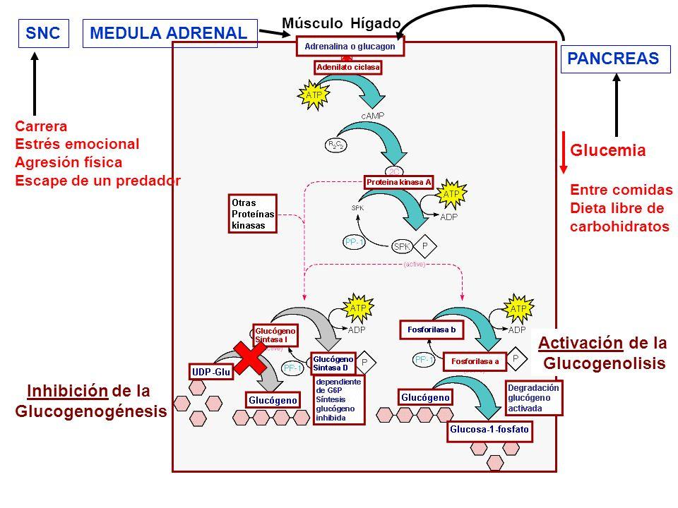 Activación de la Glucogenolisis Inhibición de la Glucogenogénesis