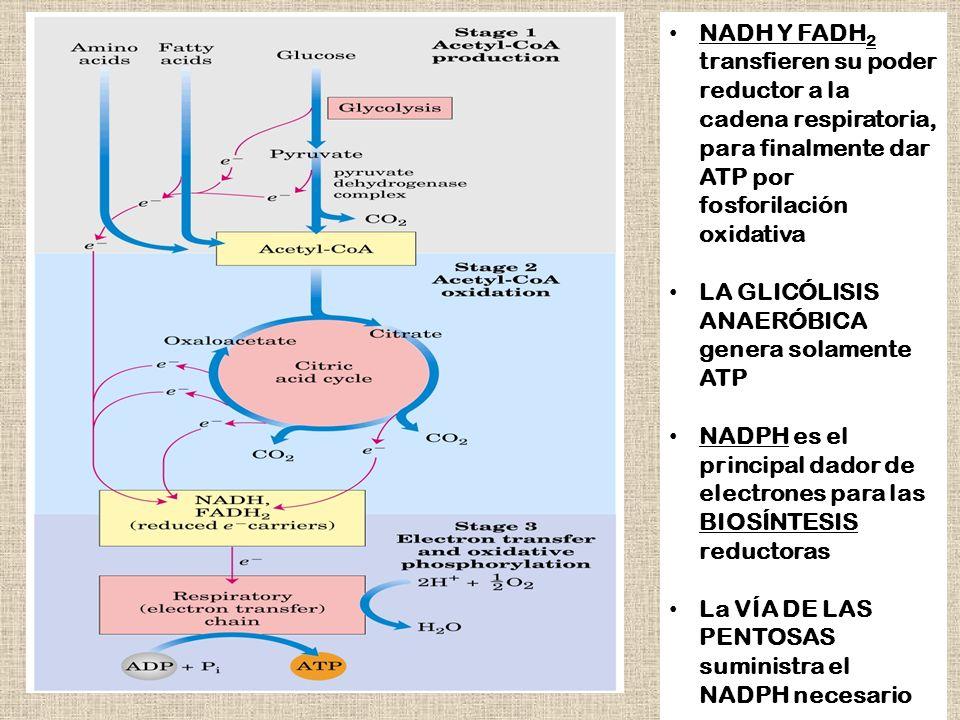 NADH Y FADH2 transfieren su poder reductor a la cadena respiratoria, para finalmente dar ATP por fosforilación oxidativa