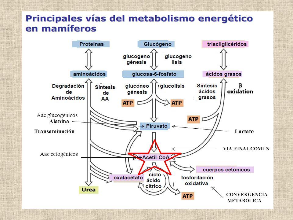 Aac glucogénicos Alanina Transaminación Lactato Aac cetogénicos