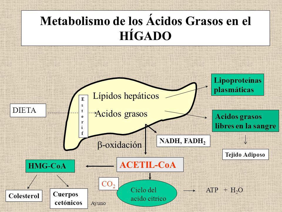 Metabolismo de los Ácidos Grasos en el HÍGADO