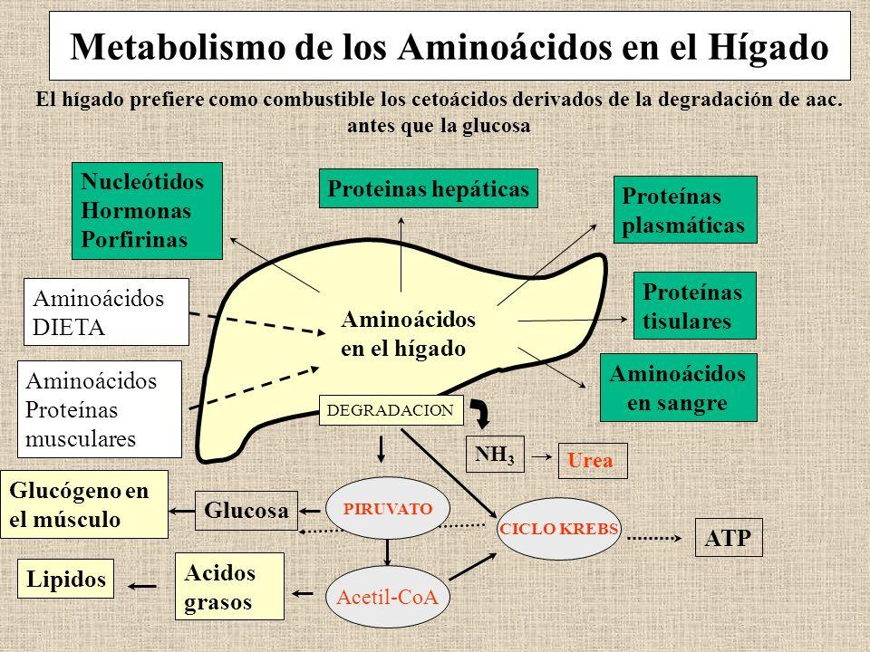 Metabolismo de los Aminoácidos en el Hígado