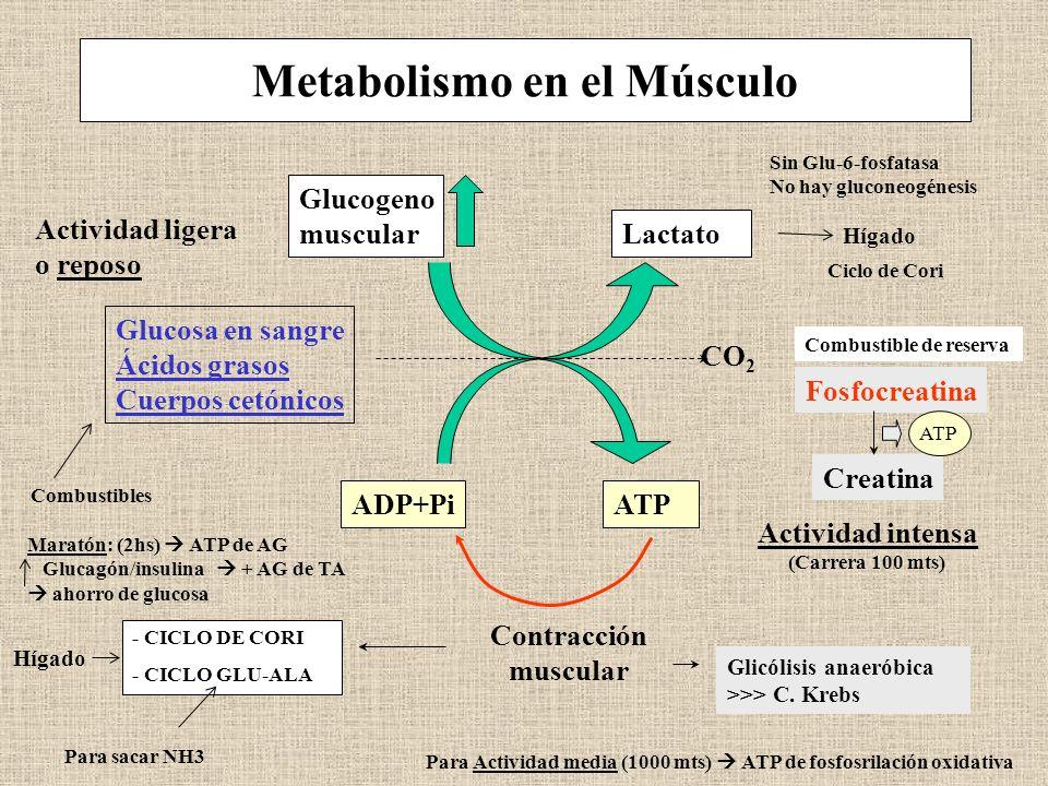 Metabolismo en el Músculo
