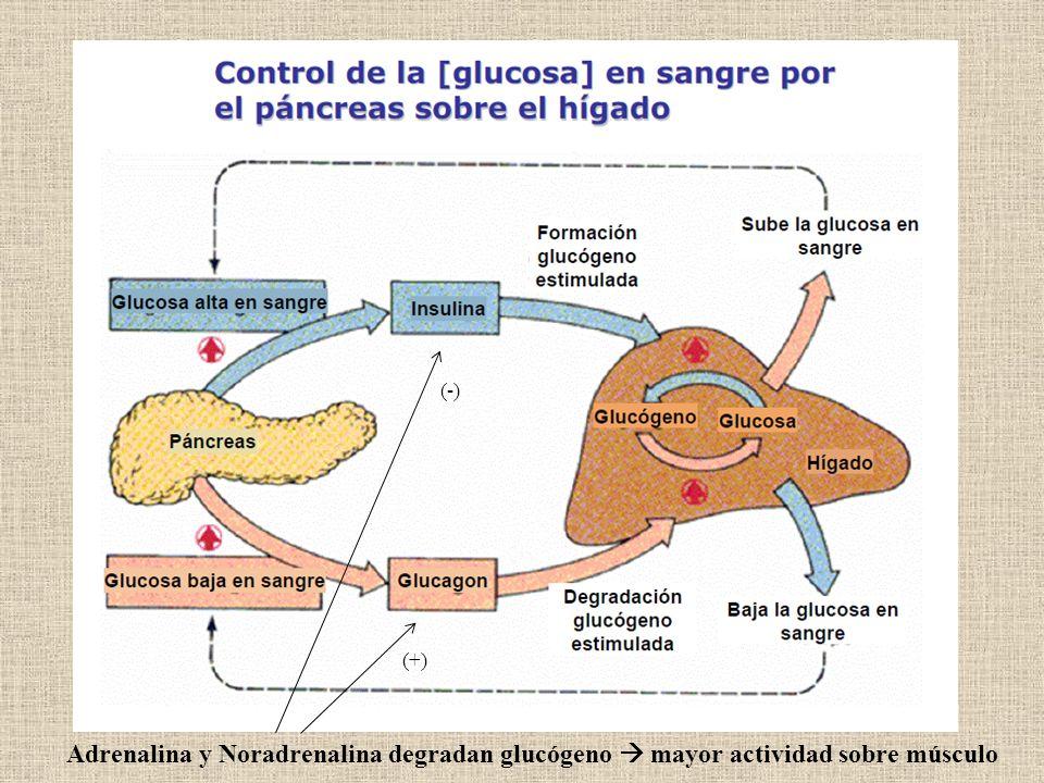 (-) (+) Adrenalina y Noradrenalina degradan glucógeno  mayor actividad sobre músculo