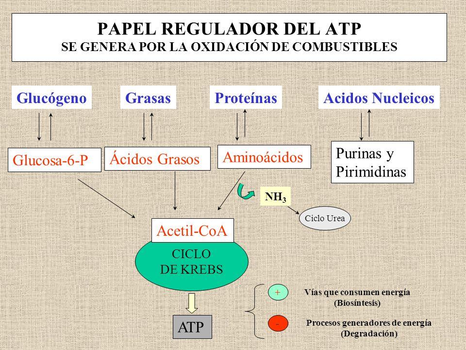 PAPEL REGULADOR DEL ATP SE GENERA POR LA OXIDACIÓN DE COMBUSTIBLES