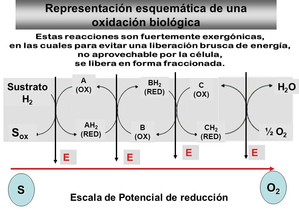 Representación esquemática de una oxidación biológica