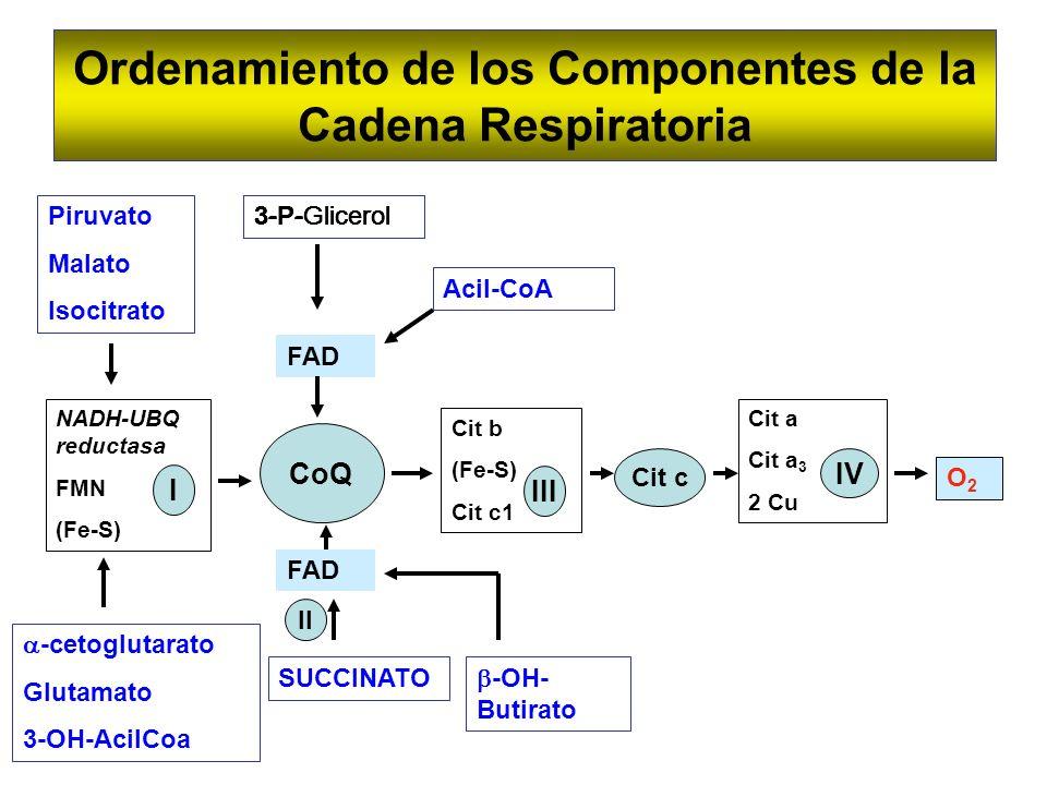 Ordenamiento de los Componentes de la Cadena Respiratoria