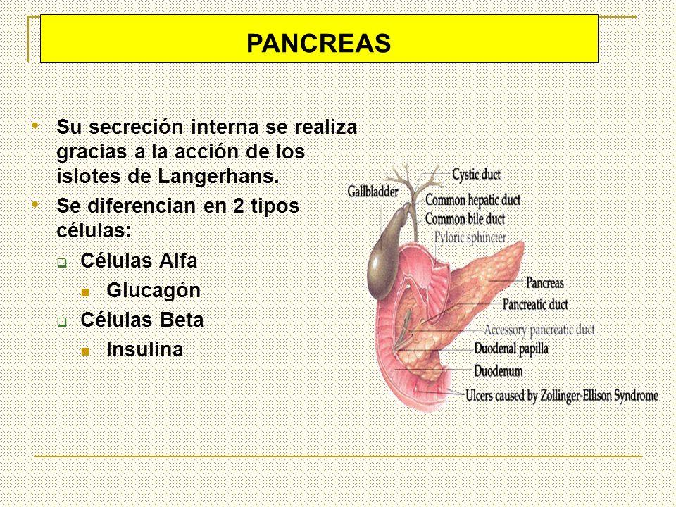 PANCREASSu secreción interna se realiza gracias a la acción de los islotes de Langerhans. Se diferencian en 2 tipos células: