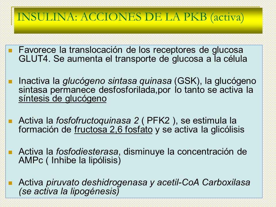 INSULINA: ACCIONES DE LA PKB (activa)