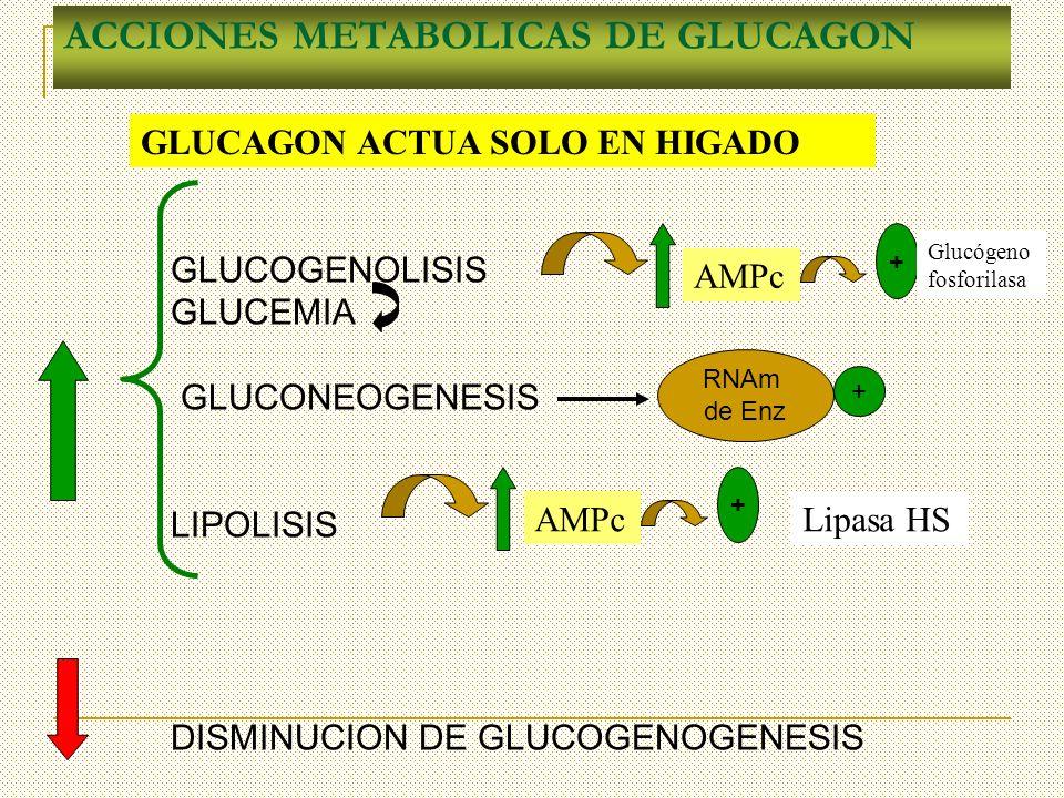ACCIONES METABOLICAS DE GLUCAGON