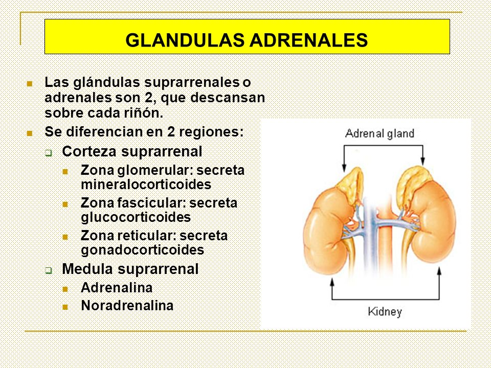 GLANDULAS ADRENALES Corteza suprarrenal Medula suprarrenal
